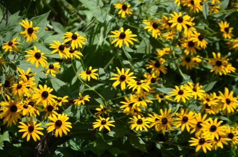 black-eyed-susan-1344895368gen