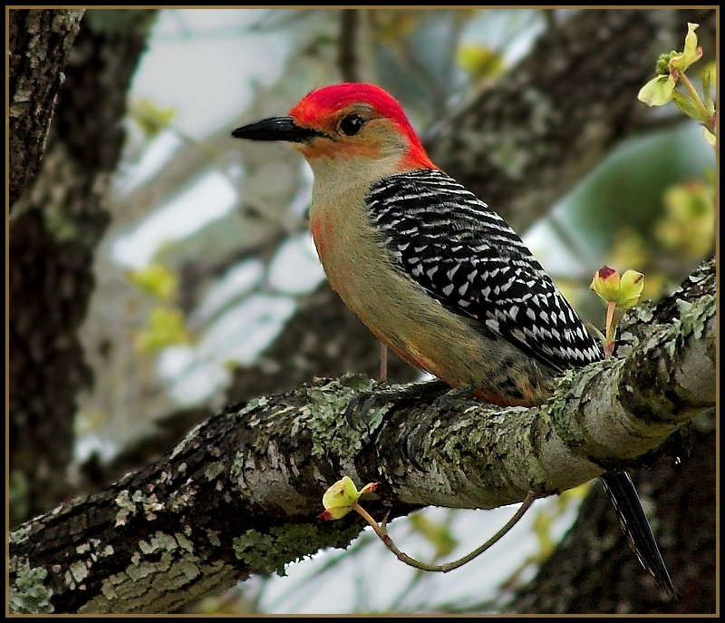 suburban_woodpecker